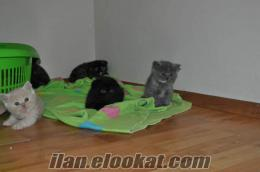 SCOTTISH FOLD VE BRITISH SHORTHAIR SAHIBINDEN