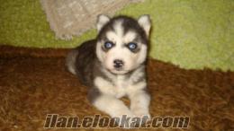 satılık mavi gözlü maskeli sibirya yavrular