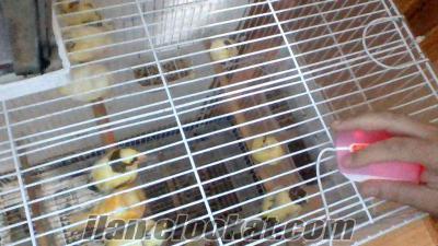 satılık kanaryalar
