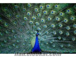 mavi tavus kuşu