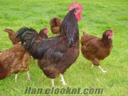 Satılık Tavuk Ve Horoz