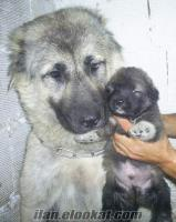 ****kafkas çoban köpeği yavruları anne altından****