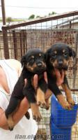 istanbul dasahibinden satılık rottweiler yavruları