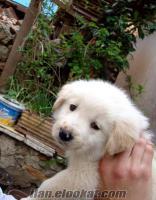 7 haftalık golden cınsı erkek köpek satılık