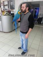 KONUŞAN FULL EVCİL GOLD BLUE SARI LACİVERT ARA MACAW PAPAĞAN