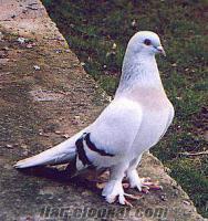 İstanbulda satılık güvercin