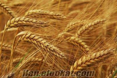 Satılık Sarı Buğday