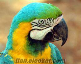 merhaba ara papaganı arayanlar
