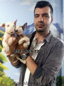 satılık bull terrier