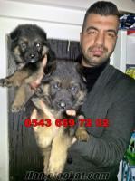 satılık alman kurdu yavruları 0543 659 72 02