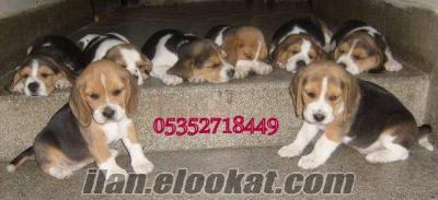 Elizabet Beagle yavrularımız