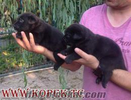 Siyah Cane Corso Yavruları