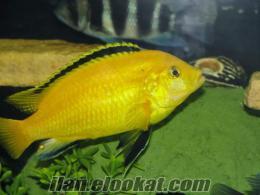 Balık yemi , kanarya ve güvercin karşılığı damızlık yada yavru balık takası yap