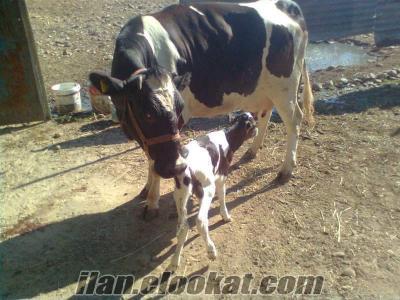 acil satılık hoştehin süt inekleri