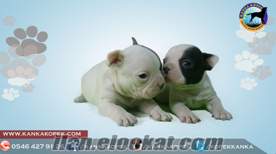 SATILIK SAFKAN FRENCH BULLDOG YAVRULARI