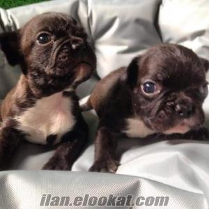 satılık french bulldog yavrusu