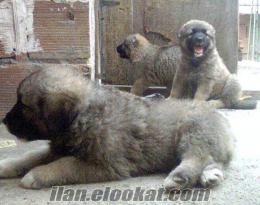 kafkas çobanı satılık