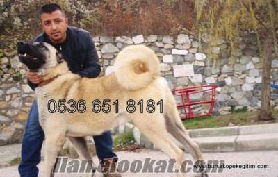 satılık kangal yavrusu, satılık kangal,