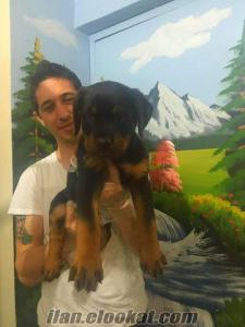 satılık macar koca kafa rottweiler yavruları