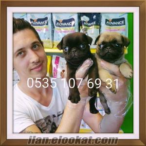 satılık sevimli pug mops yavruları