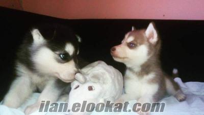 satılık sibirya kurdu husky yavruları