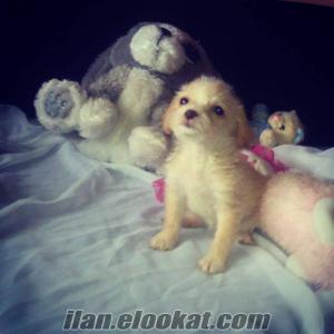 satılık terrier yavruları