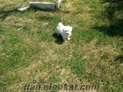 maltese terrier satılık