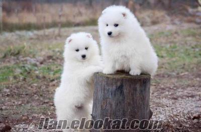 samoyed yavrular