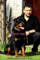 satılık macar rottweiler yavruları