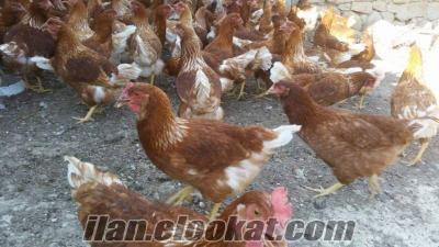 Etlik Beyaz Ve Siyah Hindi pekin ördek ve kaz çeşitleri toplu satış