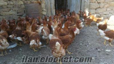 Orjinal lohman yumurta pilicleri yarka satisi baslamisdir 6 aylik