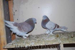 denizliden satılık taklacı güvercin