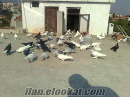 cok acıl satılık taklacı güvercin