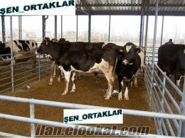 acil satılık çiftlikten düve ve süt inekleri
