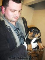 İstanbul sahibinden king rottweiler yafruları