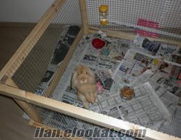 Hollanda Lop Tavşanı tavşanı