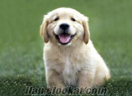 golden köpek yavrusu