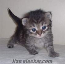 mimaroba güzelcede satılık kedi vardır