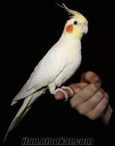 sultan papağanı 2 çift acil satılık