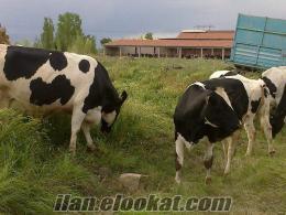 30 ve 35 kgluk süt inekleri ve gebe düveler