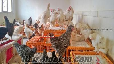 toptan satılık yumurta tavukları