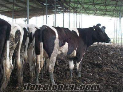inekler gercek orjinel
