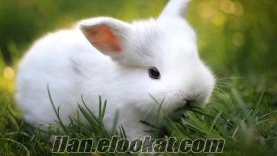 Beyaz Tavşan yavruları İstanbul