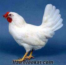 sakarya adapazarı geyve tavuk çifligi
