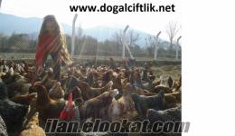 Bursa salma tavukçuluk