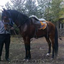 erzurumda satılık rahvan atlar