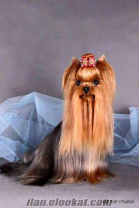 YORKSHIRE TERRIER --- İSTANBUL