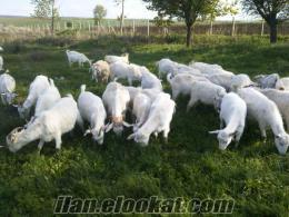satılık saanen keçi sürüsü