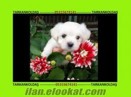 maltese terrier yavrularımız ırk garantilidir.