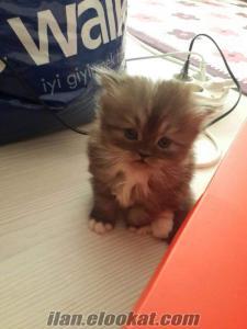 izmir yavru iran kedisi chinchilla erkek